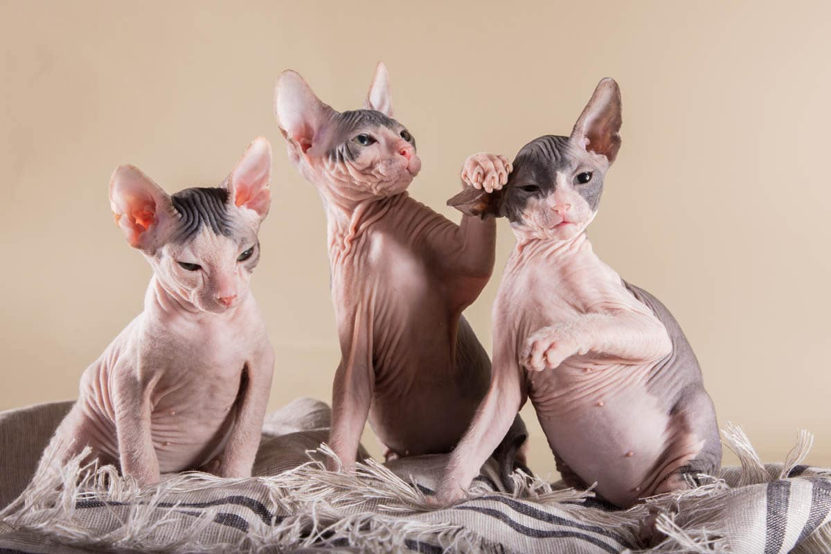Three Don Sphynx kittens