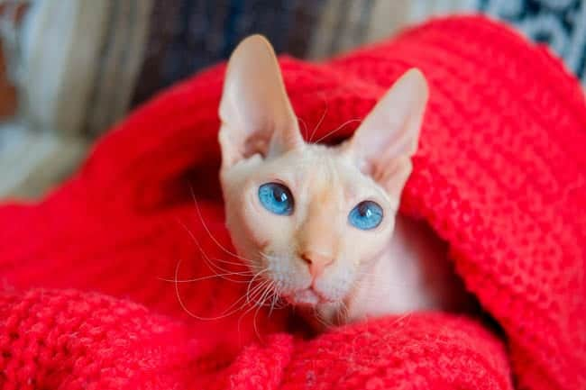 Blue eyed Don Sphynx