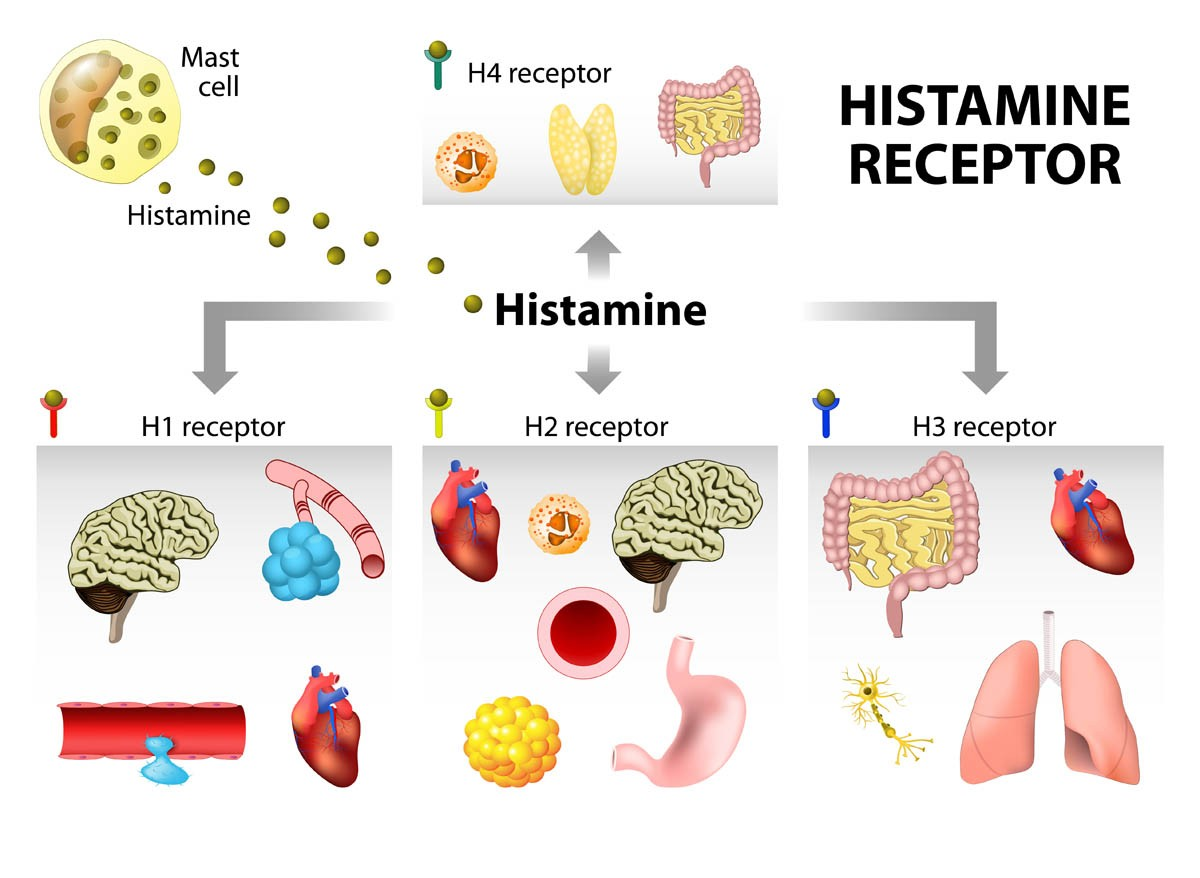 Effects of histamine on the cat's body