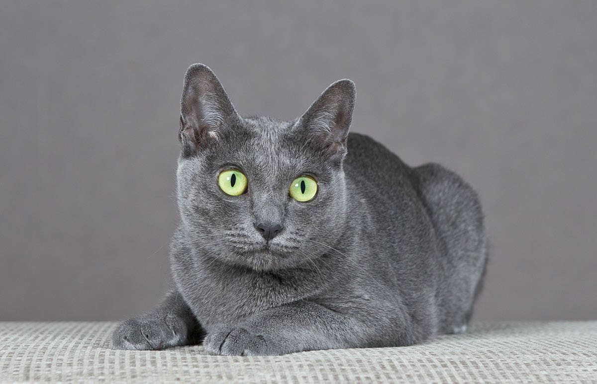 Korat breed profile