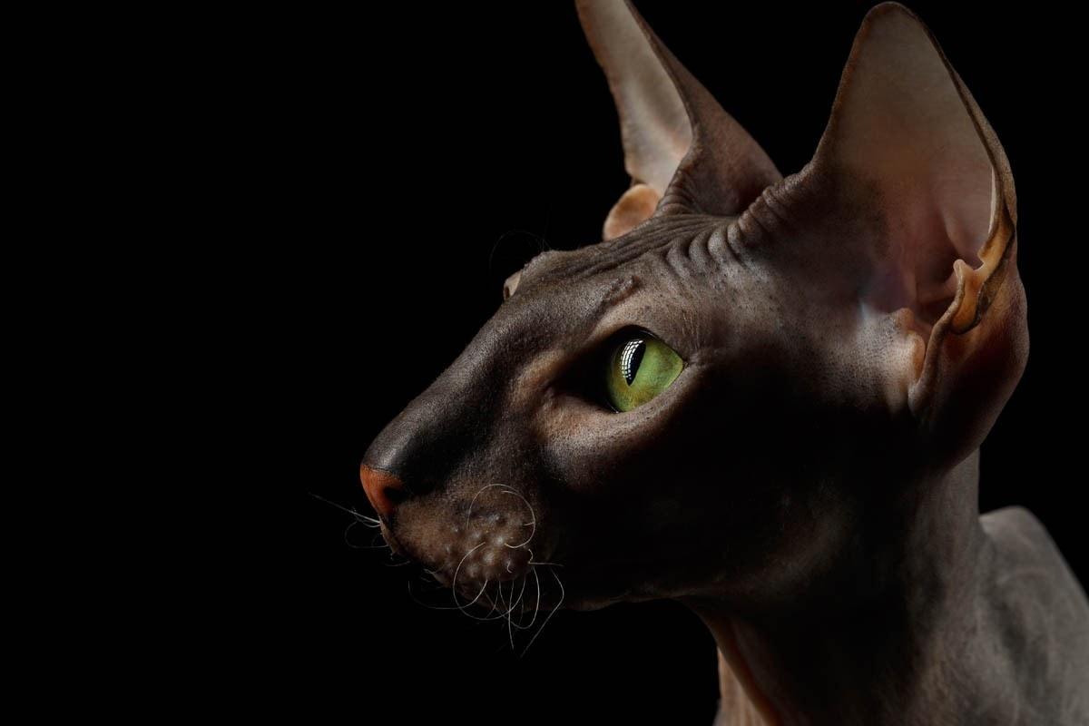 Peterbald breed profile