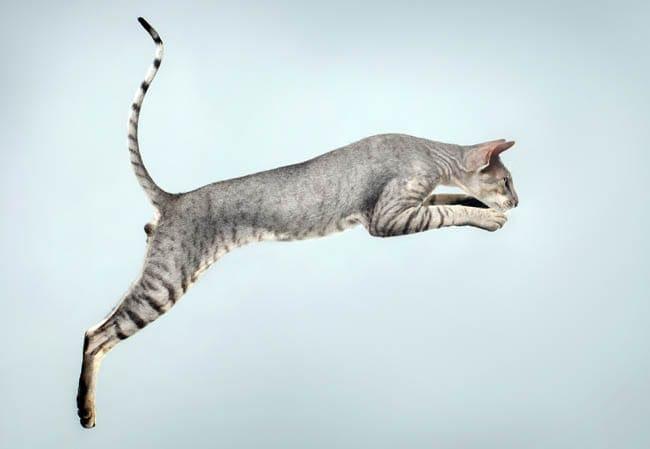 Peterbald cat jumping
