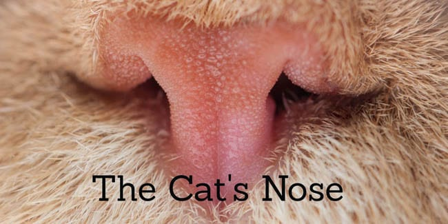 The cat's nose