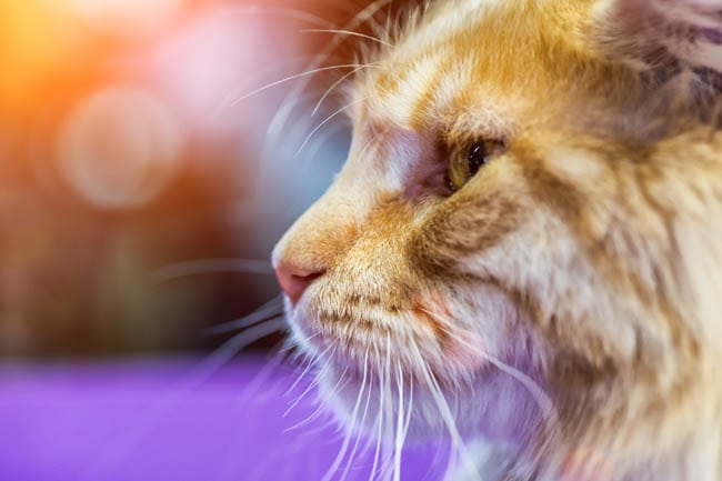 Why Do Cats Go Away To Die? | Cat-World