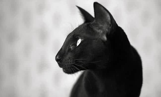 Black Oriental cat