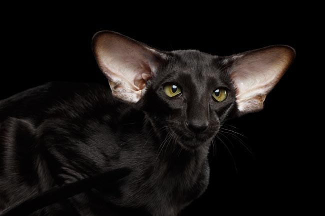 Black Oriental cat with large ears