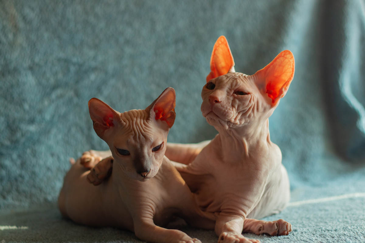 Cat breeds that shed the least