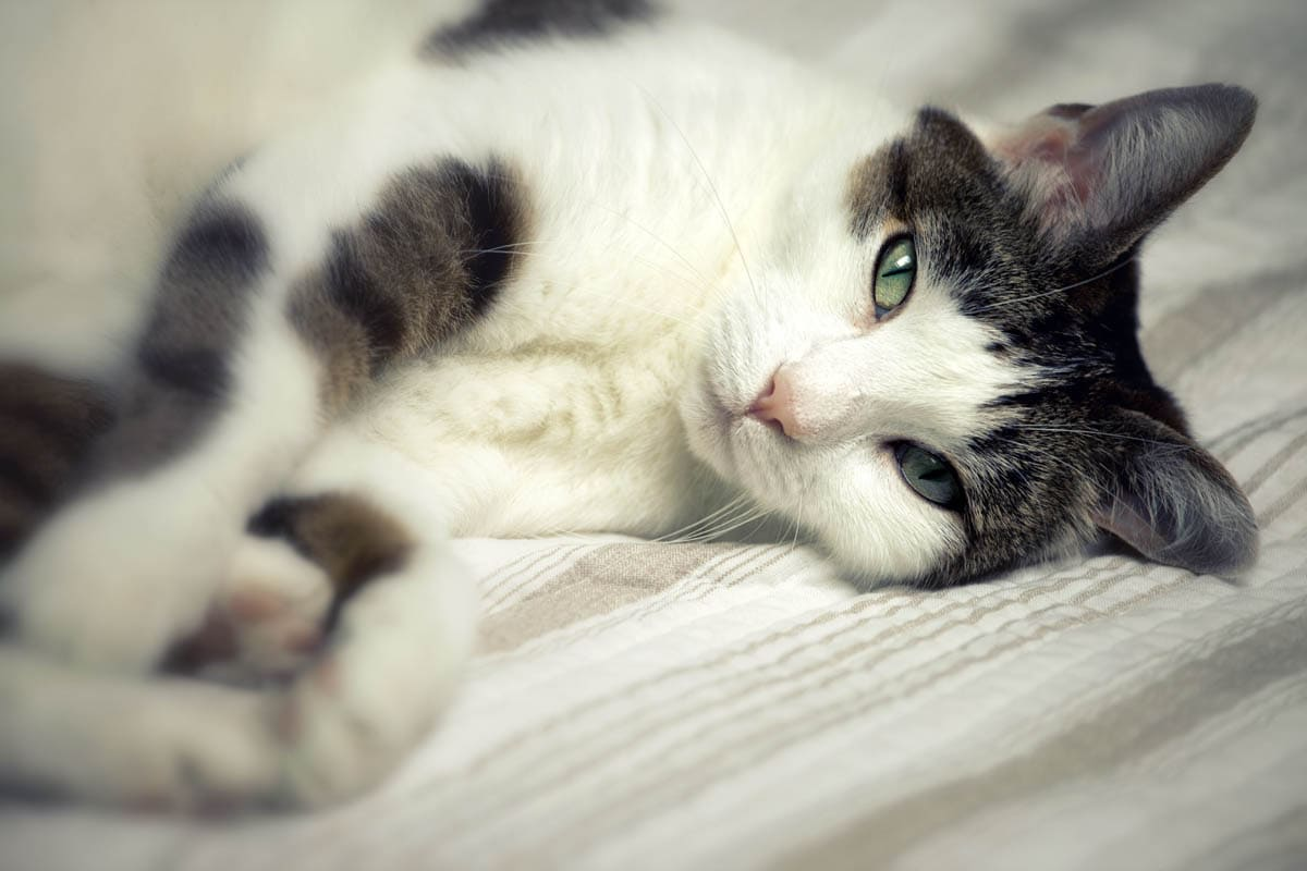 Dry skin on cats