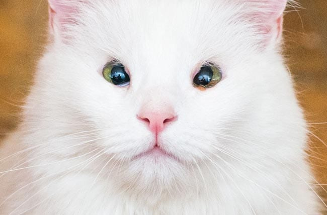 Eyelid agenesis in cats