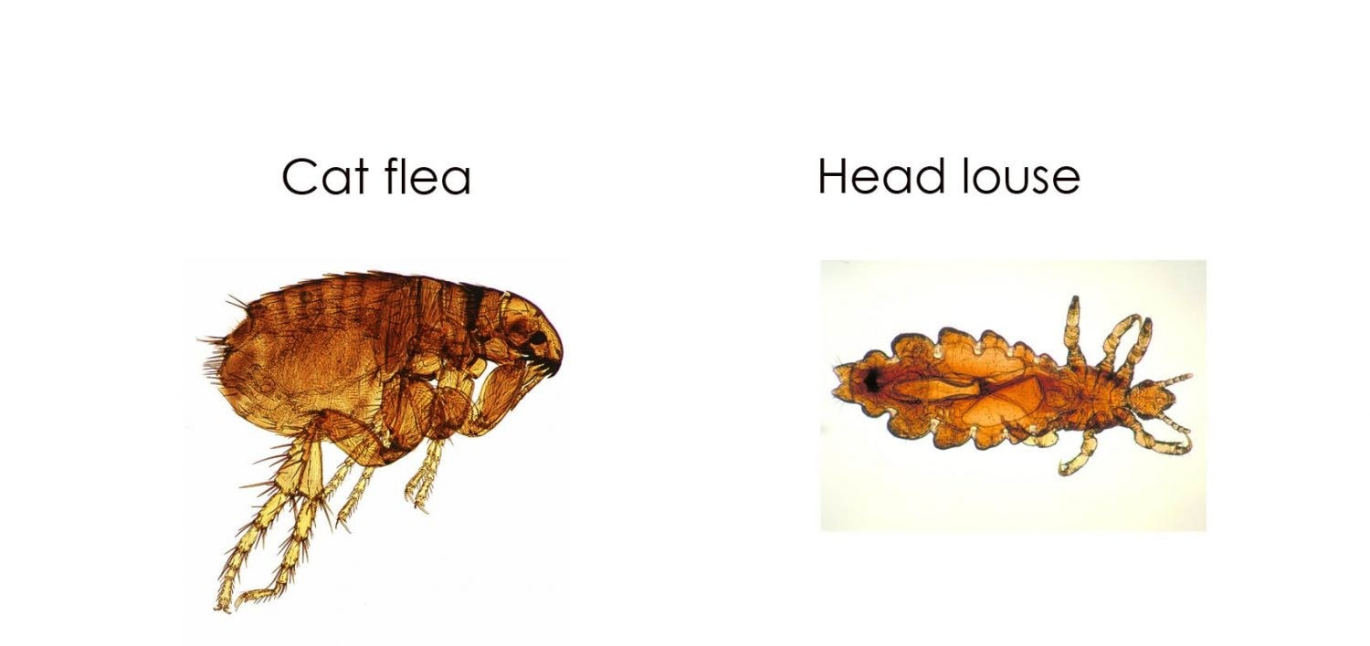difference between a cat flea and a head louse