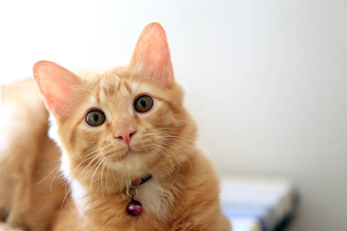 Ginger domestic shorthair cat