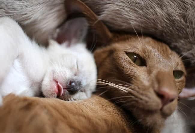 Oriental mother with Siamese kitten