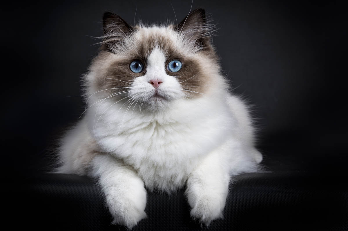 8 Cat Breeds With Blue Eyes