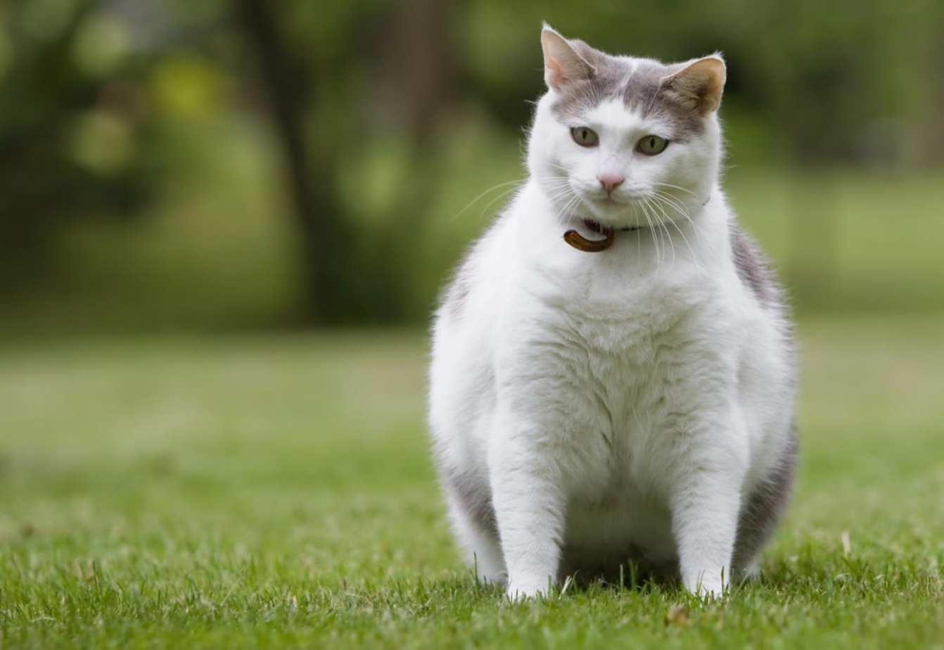 Top ten cat diseases caused by obesity