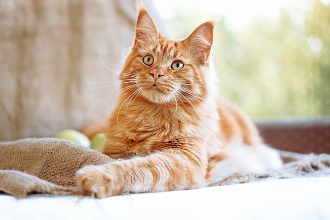 Cholangitis in cats