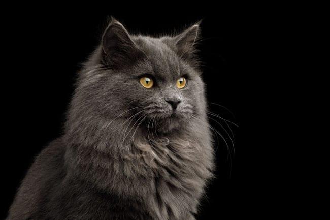 Glomerulonephritis in cats