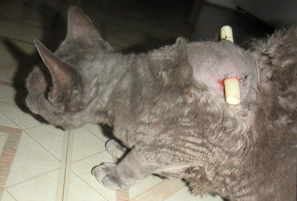 Abscess on a cat's back