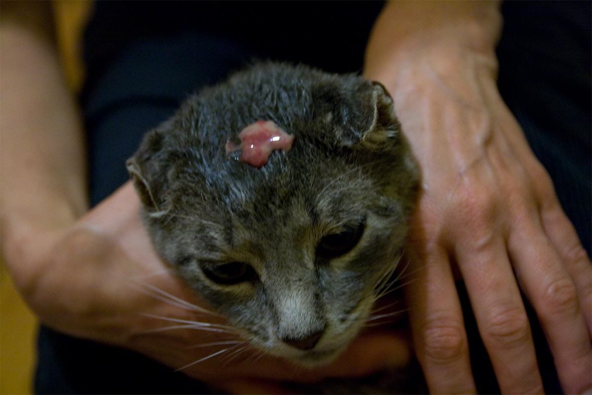 Abscess on a cat's head