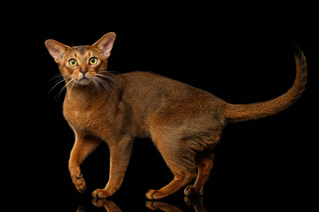 Agouti Abyssinian cat with ticked fur
