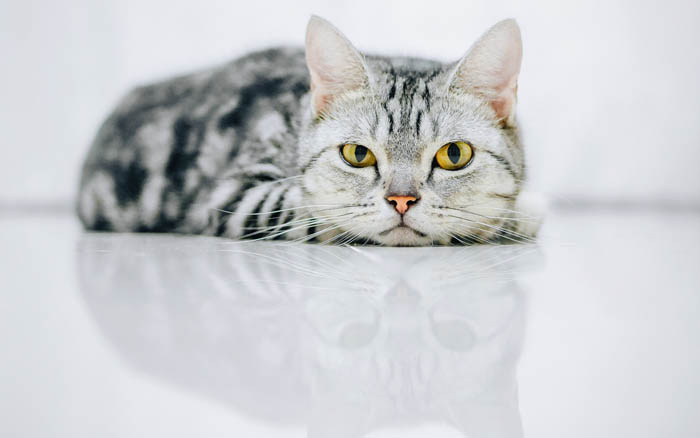 All about tabby cats