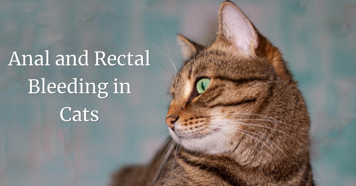 Anal and rectal bleeding in cats