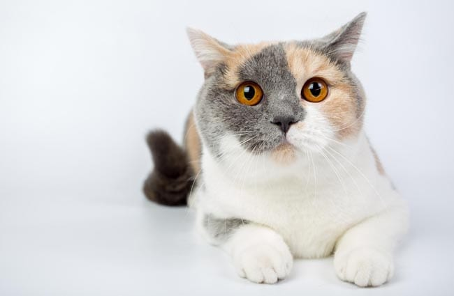 Arthritis in cats