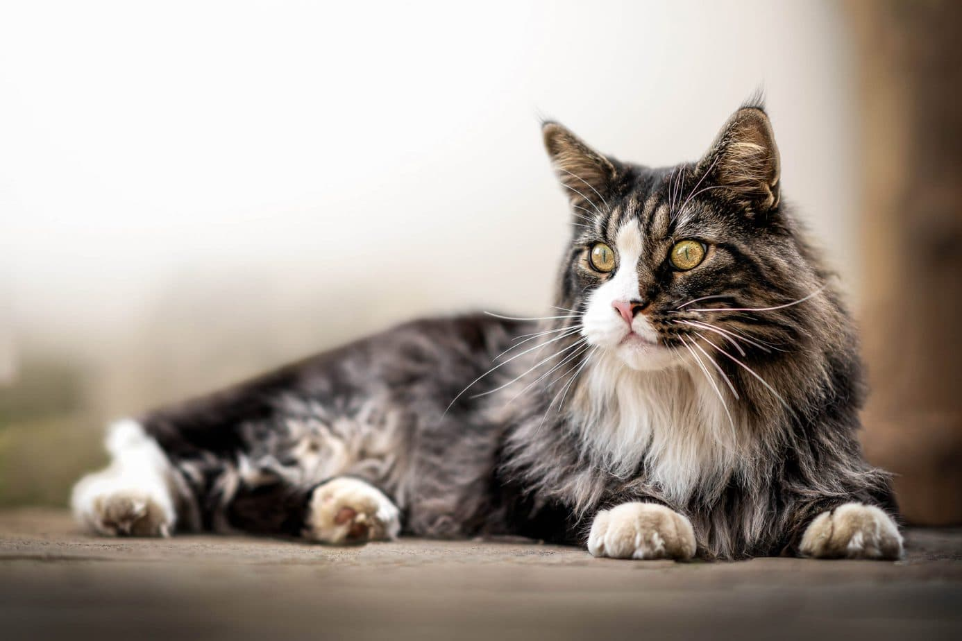 Longhaired Breeds of Cat