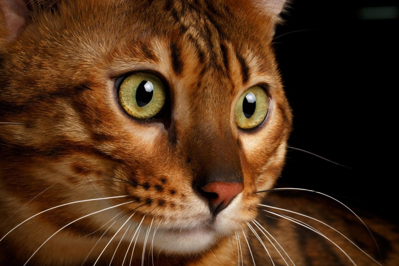 Close up of a Bengal cat