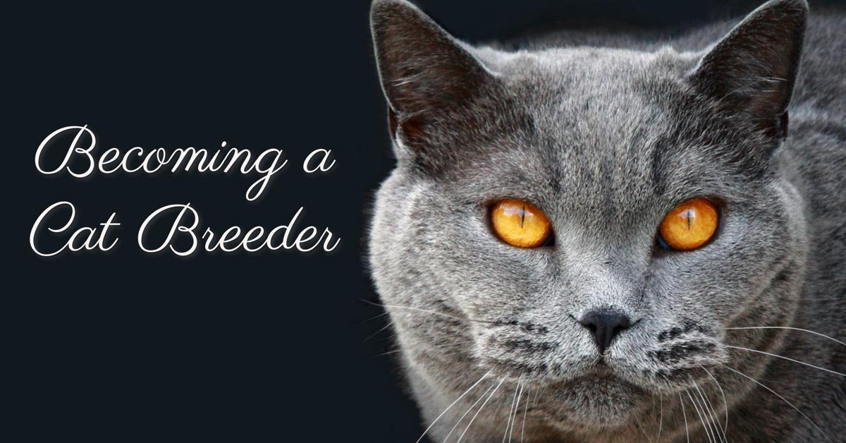 Becoming a cat breeder