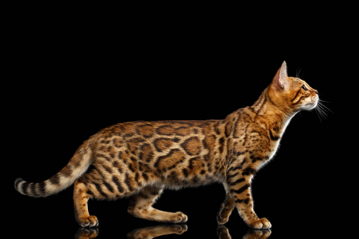 Bengal cat appearance