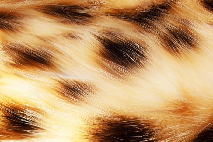 Close up of a Bengal cat's coat