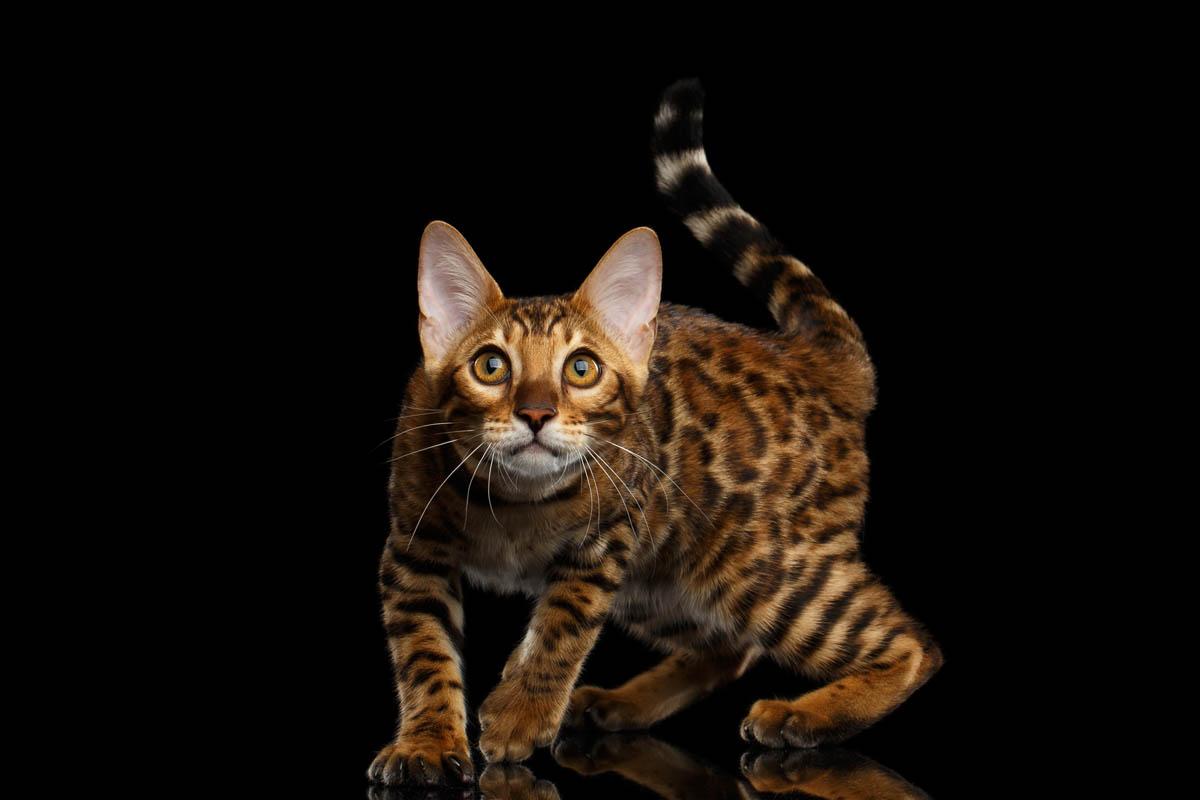 Bengal cat profile