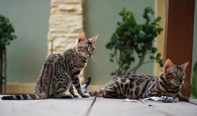 Two Bengal cats