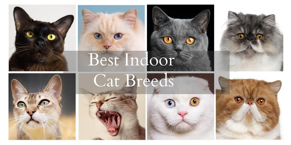 Best indoor cat breeds