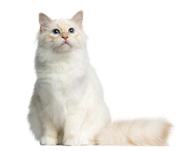 Birman cat breed profile
