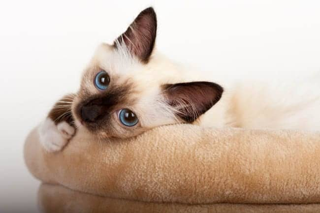 Seal Point Birman kitten