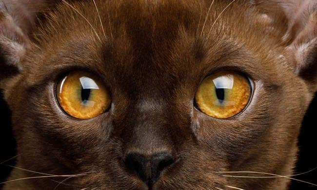 Healthy eyes on a Burmese cat
