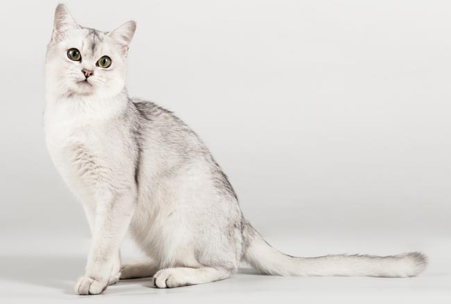 Chinchilla Cat Breed Information 1