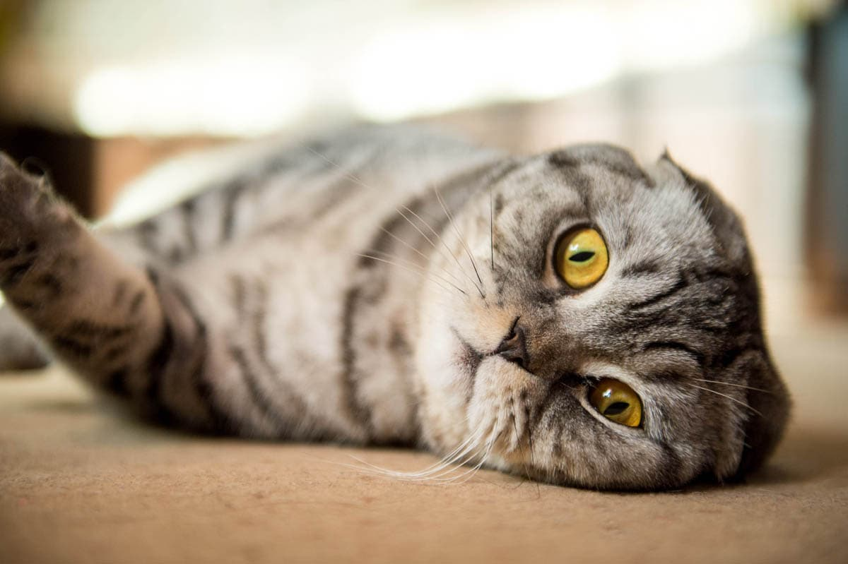 Buying a purebred cat