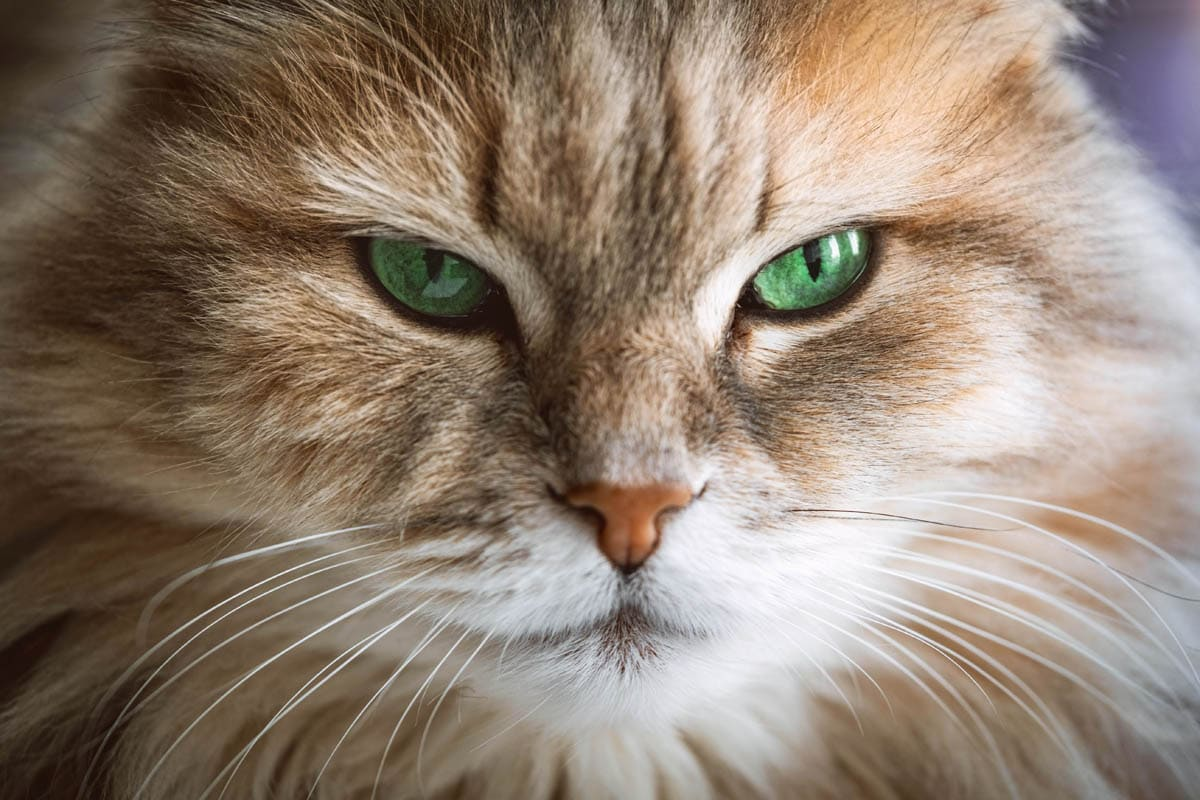 Can I catch a cold from my cat?