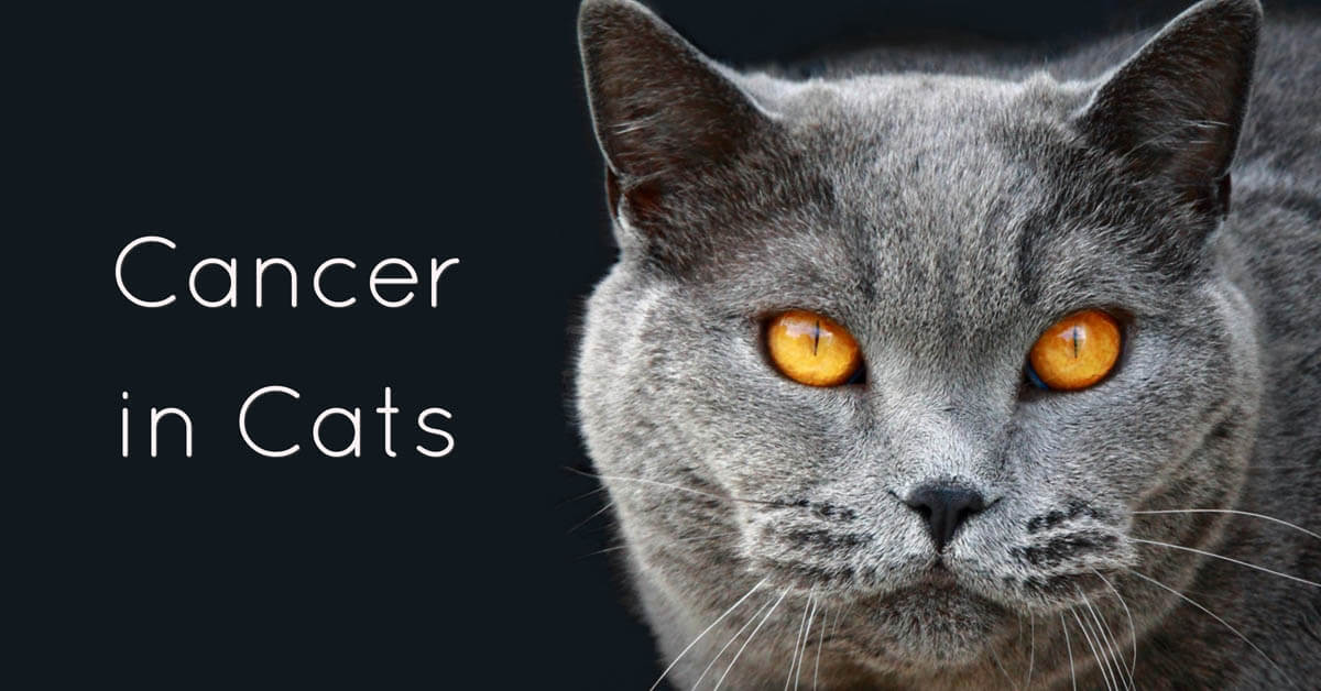 Cancer In Cats Types Symptoms Treatment Cat World