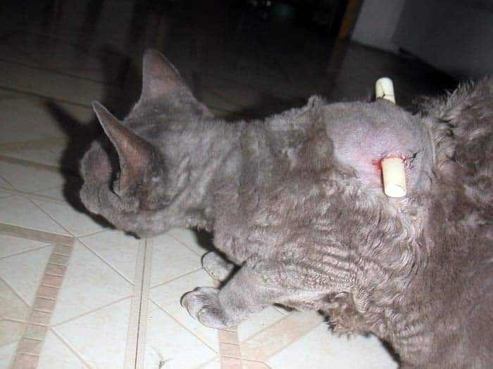 Abscess in cats