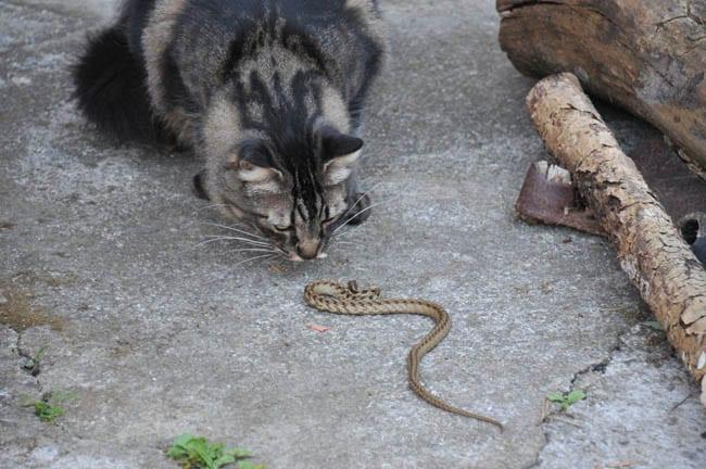 Cat bitten by snake