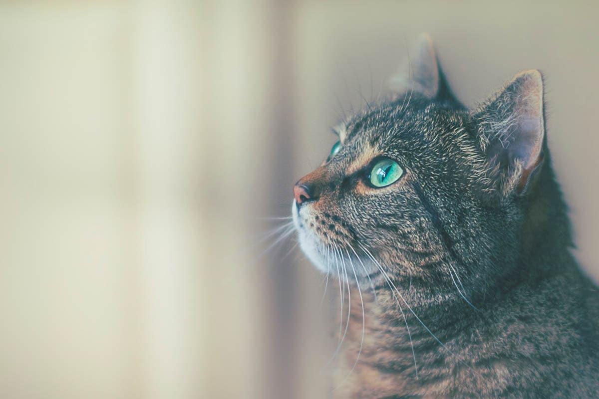 Cat chin