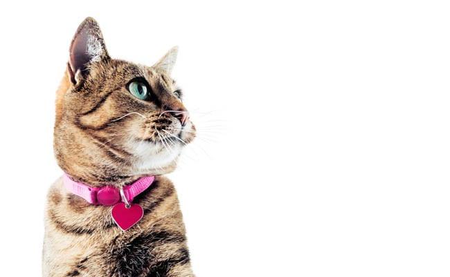 Cat Collars - Types of Collars & Cat Collar Safety