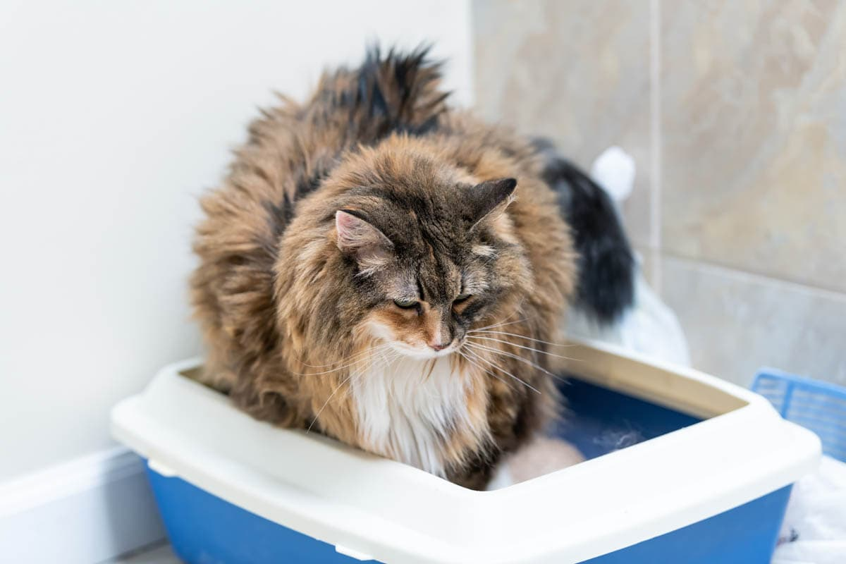 Cat crying in the litter tray