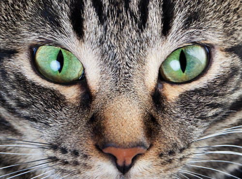 Cat elliptical pupils