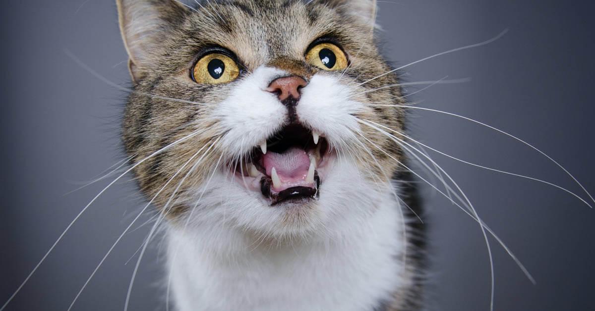 Cat gums