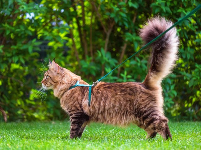 Cat walking outside in a harness