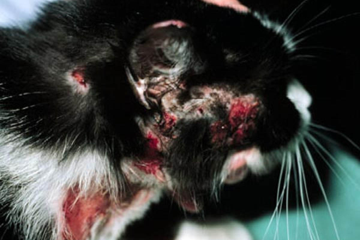 Cat with a severe food allergy